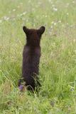 Little Cinnamon Bear Royalty Free Stock Photography