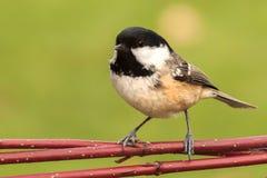 Little coal tit wild garden bird. Little wild coal tit bird resting on a red twigs Stock Image