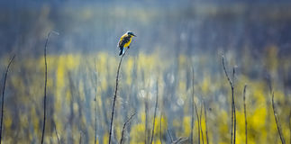 Little colored bird sitting on a thin branch, in a field, in sunny weather, turned to the right side , minimalism , outdoor Stock Image