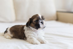 Little colored Shih-Tzu pup watching Stock Photos