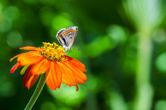 Little colorful butterfly on the orange flower. In front of the green vivid background Royalty Free Stock Image