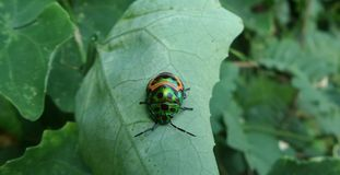 Little Colourful beatle on green leaf Royalty Free Stock Image