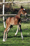 Little colt. Thoroughbred foal, foal galloping in the pasture, colt at liberty, beautiful animal Royalty Free Stock Images