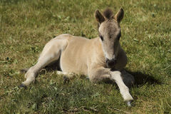 Little colt on grass Royalty Free Stock Images