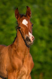 Little colt horse Stock Photos