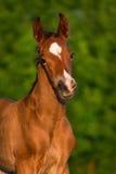 Little colt horse. Bay newborn colt portrait  outdoor Stock Photos