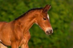 Little colt horse. Bay newborn colt portrait  outdoor Stock Images