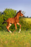 Little colt horse run Stock Photography