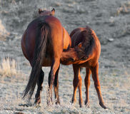 Little colt Stock Photography
