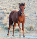 Little colt Royalty Free Stock Image