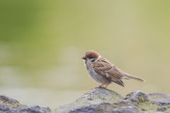 A little common bird - sparrow standing on a rock Stock Photography