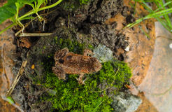 Little common european frog waiting for a leap attack. On top of moss over a rock next to water Stock Image