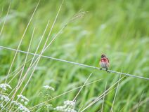 Little common redpoll on a rope Royalty Free Stock Image