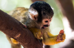 A little common squirrel monkey - Saimiri Royalty Free Stock Images