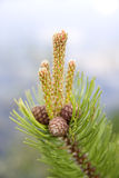 Little Cones Of Fir Tree Royalty Free Stock Photo