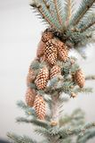 Little cones on a real Christmas tree in the forest. Real natural cones grow on top of the spruce