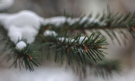 Little cones on snowly branch royalty free stock photos