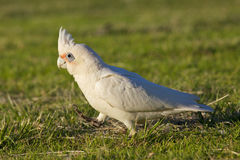 Little Corella Royalty Free Stock Photo