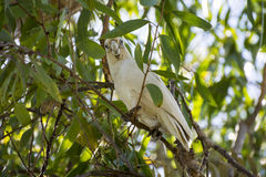 Little Corella bird in Australia. A little Corella bird in a tree in Australia Stock Photos