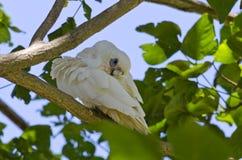 Little Corella Bird in Tree Pruning Stock Image