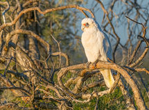 Little Corella on Branch Stock Photos
