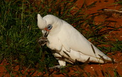 Little Corella. Little Corella(Cacatua pastinator) feeding in the desert area of Cape National Park WA Royalty Free Stock Photos
