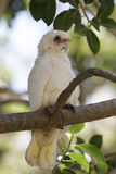 Little Corella (Cacatua sanguinea) Royalty Free Stock Photo