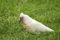 Little Corella (Cacatua Sanguinea) Royalty Free Stock Photography