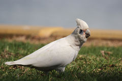 Little Corella (Cacatua sanguinea) Stock Images