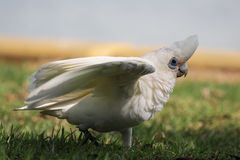 Little Corella (Cacatua sanguinea) Royalty Free Stock Photos