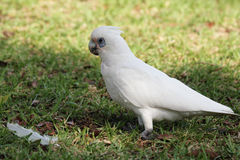 Little Corella (Cacatua sanguinea) Royalty Free Stock Images