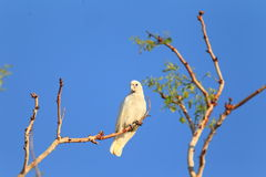 Little Corella Stock Photos