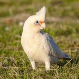 Little Corella Stock Photography