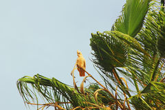 Little Corella Cockatoo perching on Palm Tree. Cute Little Corella Cockatoo perching on Palm Tree, Western Australia Royalty Free Stock Photo