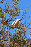 Little Corella Cockatoo sitting on Tree Branch, foraging, Western Australia Stock Images