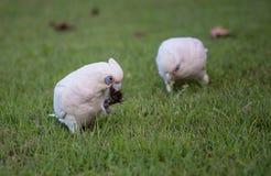 Little Corella Cockatoos royalty free stock photos