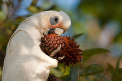 Little Corella with cone. Stock Photo