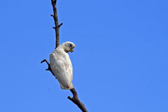 Little corella cuckatoo, Australia Royalty Free Stock Photo