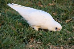 Little Corella eating. Stock Photography