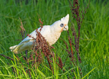 Little Corella Feeding Royalty Free Stock Photos
