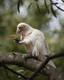 A little corella feeding in a tree. A beautiful little corella perched in a tree in the Grampians National Park, Victoria, Australia and eating a seed pod Royalty Free Stock Image