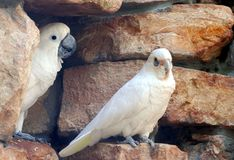 Little Corella left and Umbrella Cockatoo right. On a background of gold stone, a Little Corella left and an Umbrella Cockatoo right perch together royalty free stock images