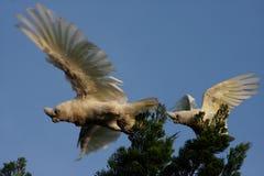 Little Corella parrots. Little Corellas--birds in flight--white parrots endemic to Australia Royalty Free Stock Photo