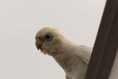 Little Corella Stock Photo