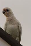 Little Corella Royalty Free Stock Photography