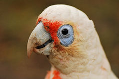 Little corella Royalty Free Stock Images