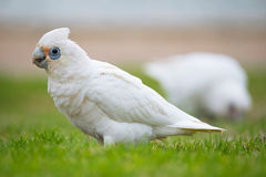 Little Corella Stock Image