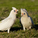 Little Corellas Stock Image