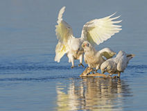 Little Corellas Drinking Royalty Free Stock Images