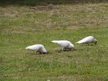 Little Corellas on the grass Royalty Free Stock Photography